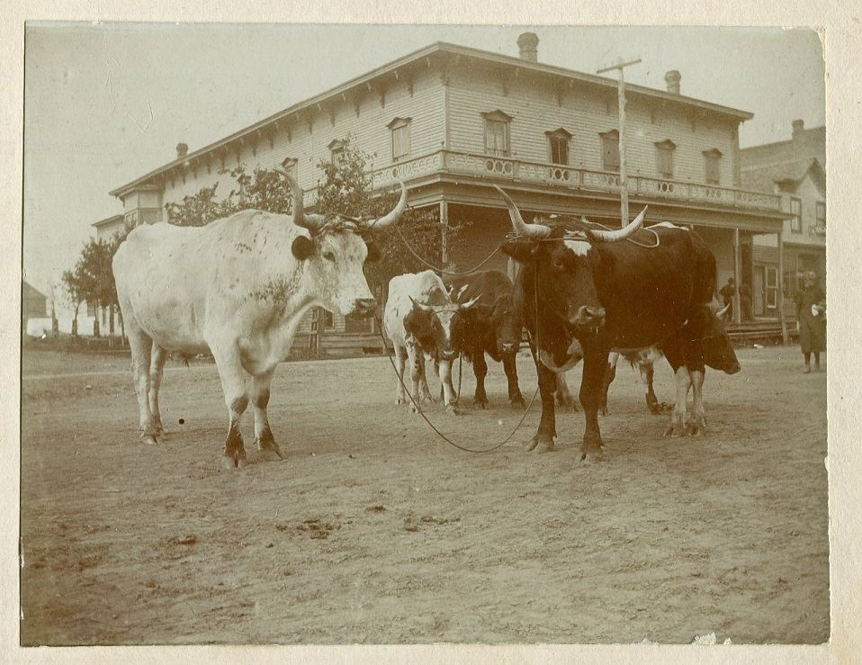 Amery - Cows on Main Street